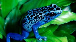 blue frog desktop wallpapers jpg 1310
