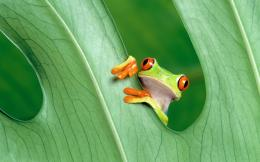Frog Desktop Wallpapers 168