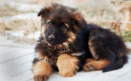 german shepherd black german shepherd puppy cute german shepherd puppy 1403