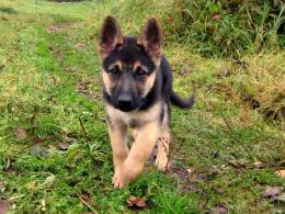 German Shepherd Puppy Desktop Wallpapers 759