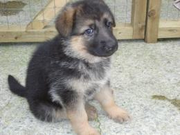 German Shepherd Puppy Desktop Wallpapers 803