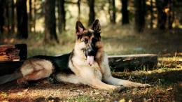 german shepherd forest dog hd wallpaper sleeping cute puppy hd 1269