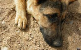 Download wallpaper German Shepherd Dog: 1549