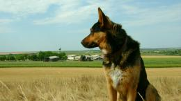 Home » Animal »German Shepherd Puppy Desktop Wallpaper 1018