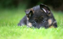 German Shepherd Puppy Desktop Wallpapers 1098