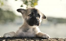 German Shepherd Puppy Desktop Wallpapers 337