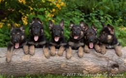 German Shepherd Puppies Wallpaper Hd 30 Desktop Background Wallpaper 1155