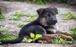 German Shepherd Puppy Desktop Wallpapers 745