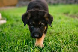 Animal wallpapers German Shepherd Puppies wallpaper 435