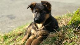 German Shepherd Puppy Desktop Wallpapers 1595