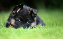 Pet, Puppy, German ShepherdAnimals — Wallpaper #82223 1167