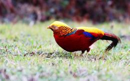 21 Golden Pheasant Wallpapers Golden Pheasant Backgrounds 1679