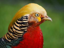 Golden Pheasant Birds HD Wallpapers 1855