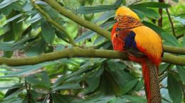 Golden Pheasant wallpaper 1920x1080 1636