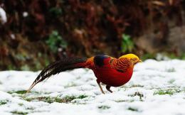Golden Pheasant Birds HD Wallpapers 634