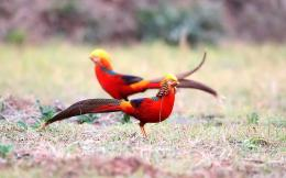 Golden Pheasant HD Wallpapers 158