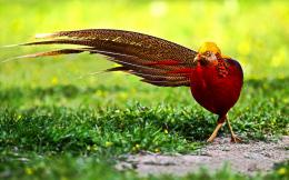 Golden Pheasant Birds HD Wallpapers 249