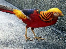 Golden Pheasant Birds HD Wallpapers 898