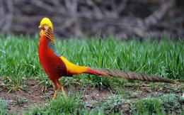 Golden Pheasant Birds HD Wallpapers 1558