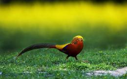 Golden Pheasant Birds HD Wallpapers 1464