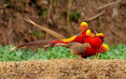 golden pheasant birds hd wallpapers golden pheasant or game bird is 1207