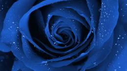 Blue Black Rose A Beautiful Flower Gorgeous Free Hd Wallpaper with 114