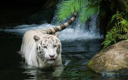 White Tiger Beautiful 441