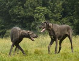 Two Great Dane dogs wallpaper 154