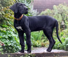 Great Dane Wallpapers 692