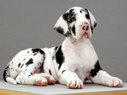 great dane dog breeds pets backgrounds wallpapers great dane dog 1944