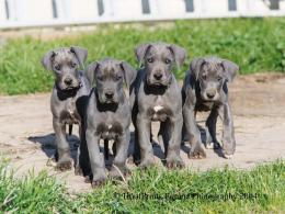 great dane grey puppies wallpaper jpg 465