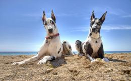 Great Dane Dogs Wallpapers 1586