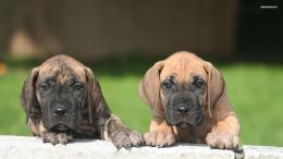Great Dane puppies wallpaper 1920x1080 1053