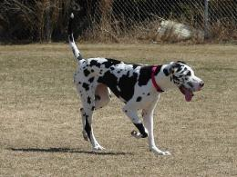 Great Dane Dogs Wallpapers 533