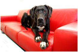 Great Dane Dogs Wallpapers 1498
