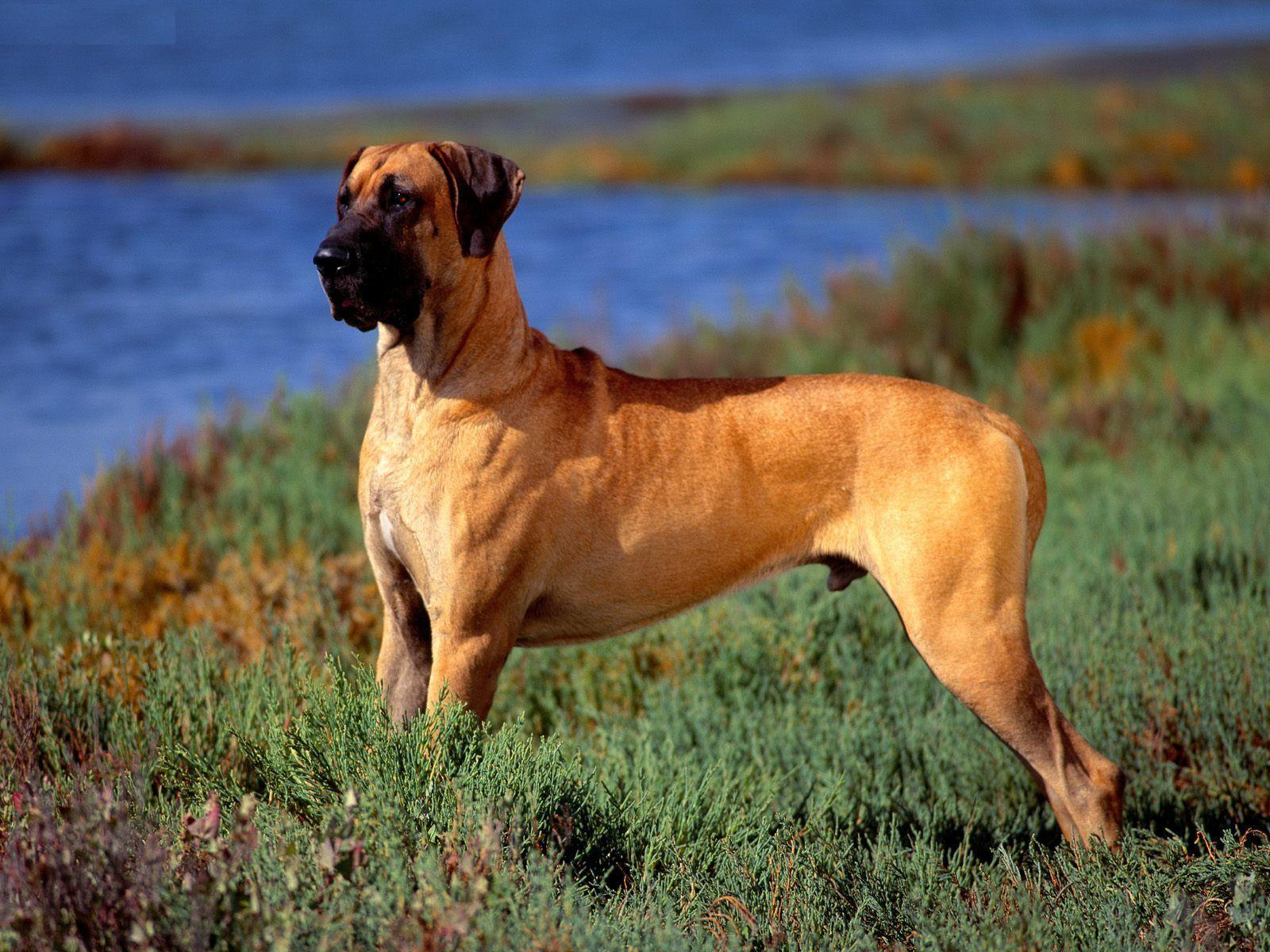 Great Dane Dogs Wallpapers 1315