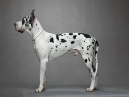 Great Dane Dogs Wallpapers 1941