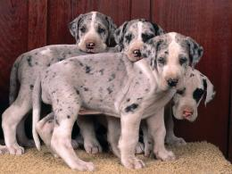Great Danes Great Dane puppies 599
