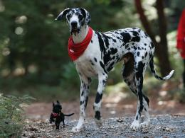 Happy animals dogs chihuahua great dane wallpaper background 834