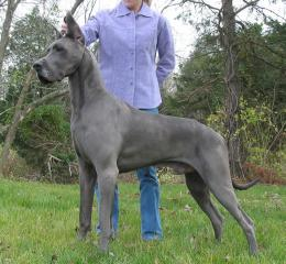 Great Dane Dogs Wallpapers 869