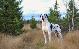 Harlequin great dane, dog, friend wallpapersphotos, pictures 1292