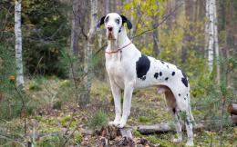 Harlequin great dane, dog, friend wallpapersphotos, pictures 451