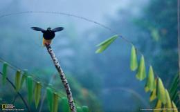 » animalswild » Birds » Others » birds of paradise Wallpaper 217