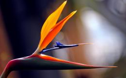 Tropical Bird of Paradise Strelitzia Africa High quality wallpaper 1549