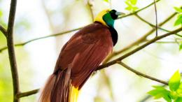 greater birds of paradise hd wallpapers widescreen background birds 1662