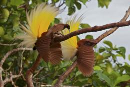 Birds of Paradise Beautiful HD Wallpaper Desktop 936