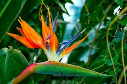 Bird of Paradise wallpapers hd 1096