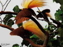 bird cendrawasih birds birds of paradise birds of paradise wallpaper 466
