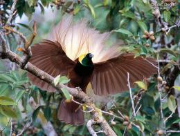bird cendrawasih birds birds of paradise birds of paradise wallpaper 1551