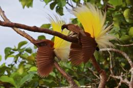 Greater Bird of Paradise HD Wallpaper,Images,Pictures,Photos,HD 1889